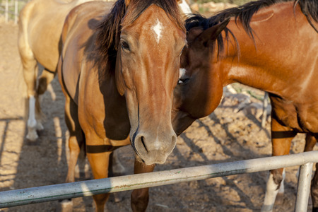 Bay and chestnut horses with white marks looking straight at you one leaning on another Banco de Imagens