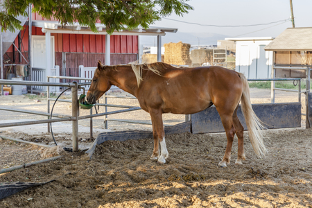 Chestnut blond horse with white marks drinking from green drinking device in farm dirt inclosure with hay and red barn on background under a tree Editorial