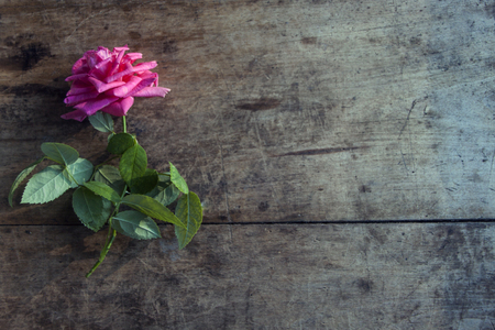 brigh: Fresh brigh rose on dark rough wood desk. Nature photo background
