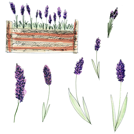 Lavender hand drawn illustration. Isolated lavender flowers, design elements. Organic herbs Stock Illustration - 80700455