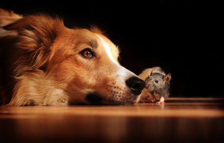 small group of animals: Dog and mouse are friends at home Stock Photo