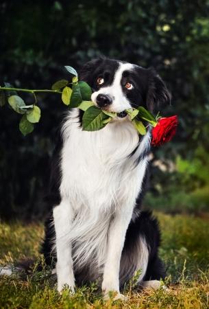 Dog border collie portrait with flower in summer