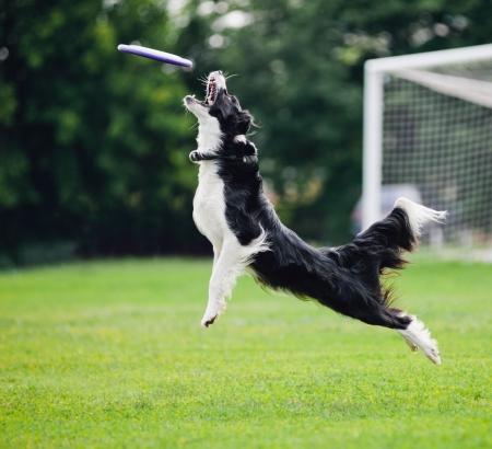 ジャンプでディスクを引く犬のフリスビーを飛んでください。 写真素材