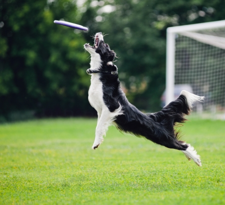 Frisbee flying disc dog cattura nel salto