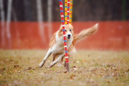 retrieving: funny dog border collie running competitions of agility