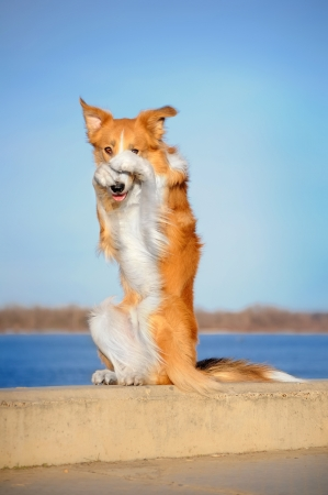 rode Border Collie hond doet de truc Stockfoto
