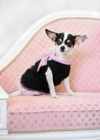 glamour little dog on sofa in clothes photo