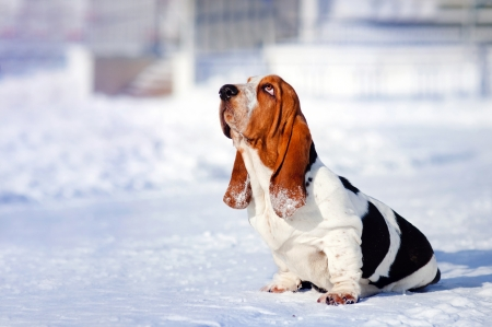 sad dog Basset Hound sits in winter
