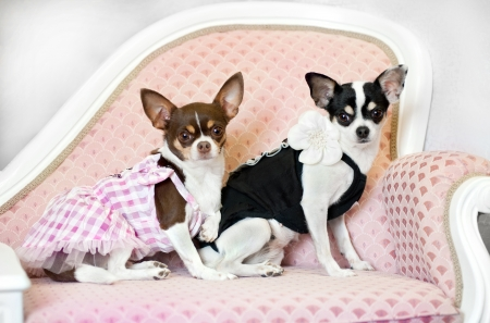 two glamour little dogs on pink sofa photo