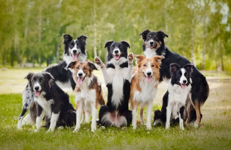 dog portrait: group of happy dogs border collies on the grass in summer Stock Photo