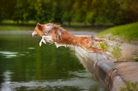 Dog jumps into the water from the shore photo