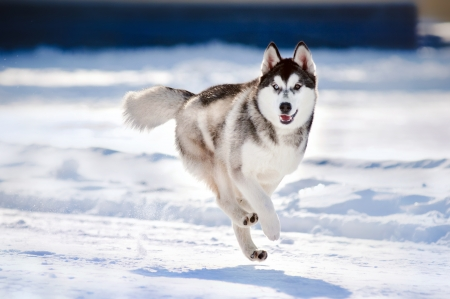 cute funny dog hasky running in winter photo