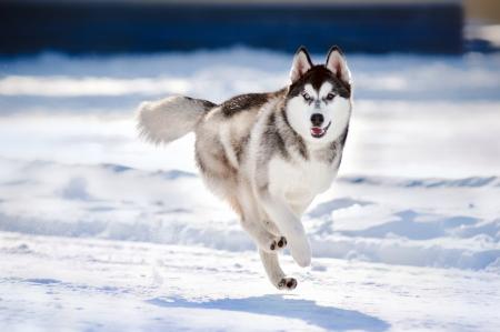 husky: cute funny dog hasky running in winter