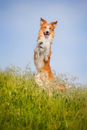 dog days: perro feliz piernas border collie en el campo sobre un fondo de cielo azul