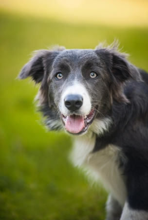 happy dog border collie portrait in summer photo