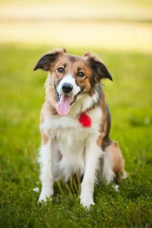 happy dog border collie portrait in summer Stock Photo - 15400110