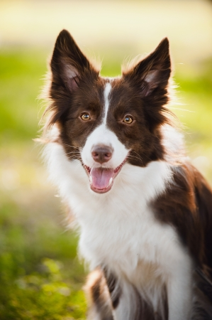 puppy dog: happy brown dog border collie portrait in summer Stock Photo