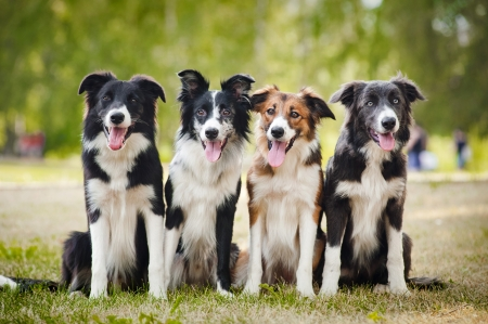 animal border: group of happy dogs border collies sitting on the grass in summer Stock Photo