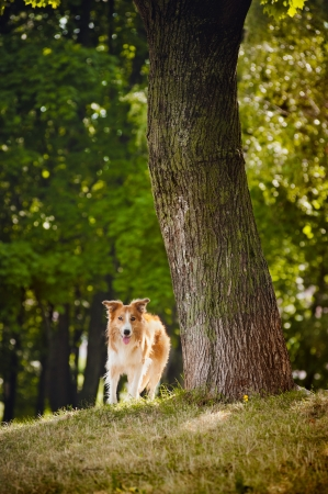 happy dog border collie stay near tree photo