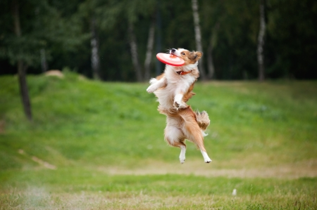 Agility: red dog border collie catching disc in jump