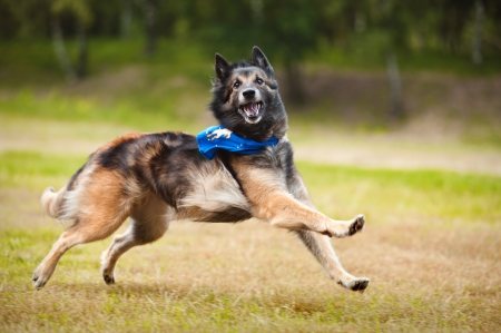 Funny dog Shepherd Tervueren running on the grass in summer photo