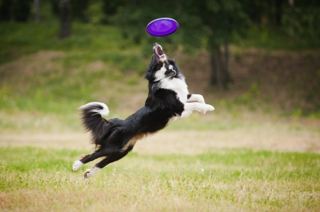 perro corriendo: perro blanco y negro disco captura en salto Foto de archivo