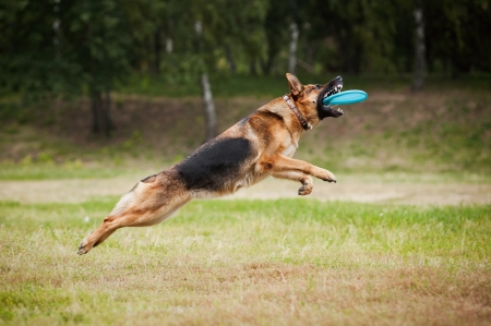 playful behaviour: dog catching the flying disc in jump Stock Photo