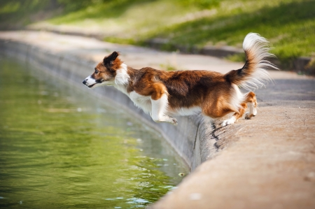 Dog jumps into the water from the shore
