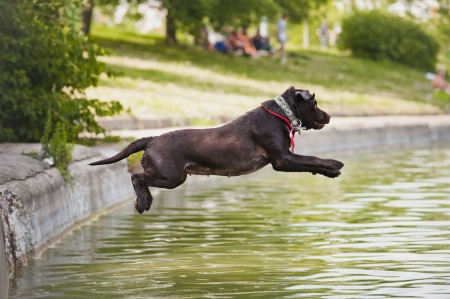 Dog labrador jumps into the water from the shore photo