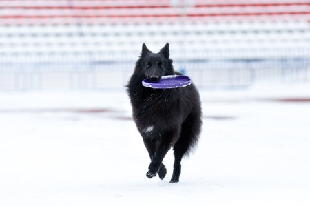 young black dog playing in the snow in winter photo