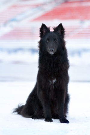 young black dog sitting in the snow in winter photo