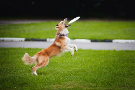 playful behaviour: young red border collie catching flying disc in summer