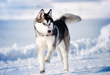 funny funny dog hasky running in winter