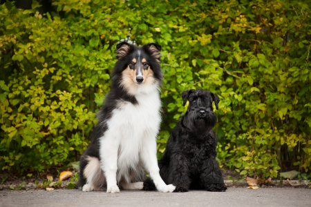 miniature collie: young puppies collie and Miniature Schnauzer in summer Stock Photo