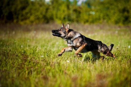dog running on the field in summer photo