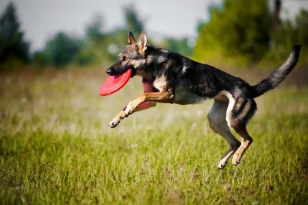 perro pastor de coger el disco volador en salto Foto de archivo