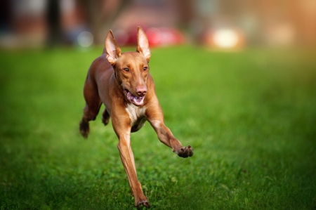perros jugando: lindo divertido Pharaoh Hound perro corriendo en la hierba Foto de archivo