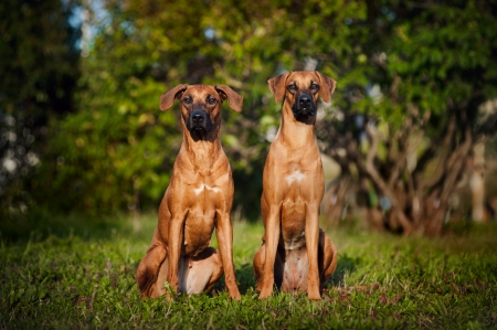 Two Dogs Ridgeback sitting on the grass in summer photo