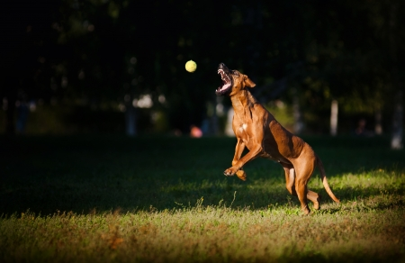 agility dog: cute funny dog running and catches the ball
