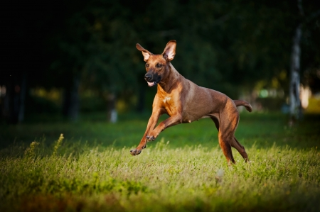 agility dog: cute funny dog running on the grass Stock Photo