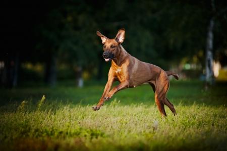 dog running: cute funny dog running on the grass Stock Photo