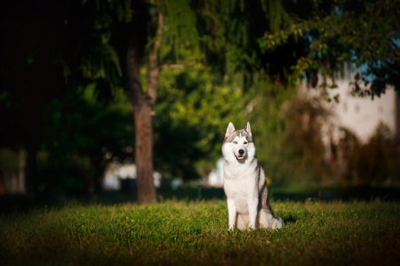dog husky sits on the grass in summer Stock Photo - 18430645