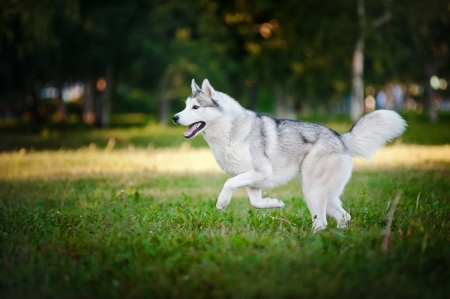 cute dog husky running on the grass in summer