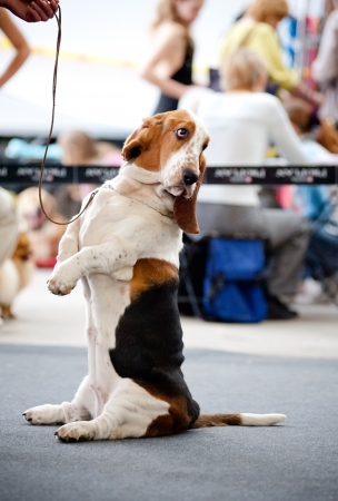 dog basset hound sitting on his hind legs on the road photo