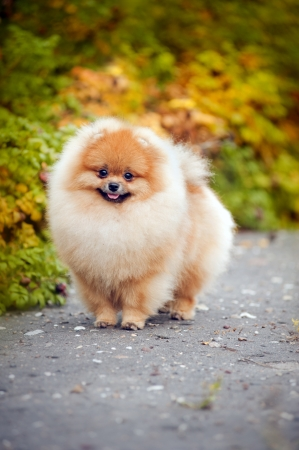 Young puppy Spitz is on the road in the autumn and looks at the camera Archivio Fotografico