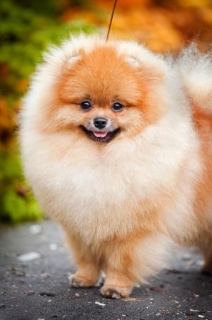 Joven cachorro Spitz está en el camino en el otoño y mira a la cámara
