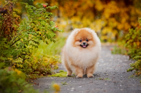 autumn dog: Young puppy Spitz is on the road in the autumn and looks at the camera Stock Photo
