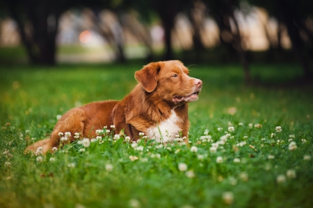 cute golden retriever Toller dog rests in the colors photo