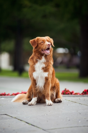 happy cute golden retriever Toller dog sitting Stock Photo