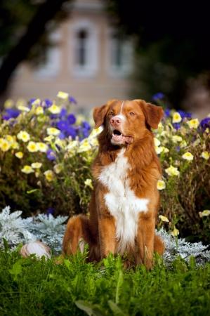happy cute golden retriever Toller dog sitting in the colors 版權商用圖片